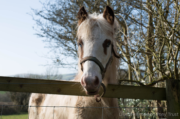 Beautiful Tobiano Filly Full loan - Charity Rehome