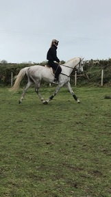 15hh Arab horse for sale
