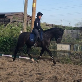 16hh PRE Andalusian Gelding