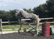 3 Years Old Dapple Connie x welsh Grey Gelding