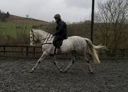 7 year-old - Irish Sport - All Rounder - Gelding - 17 hh - Powys