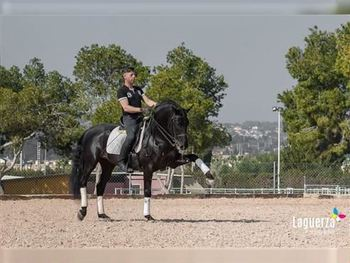10 year-old - P.R.E. - PSG Stallion - 16 hh - Spain