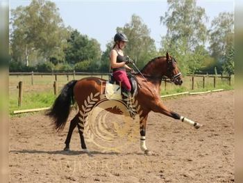 6 year-old - Andalusian - Gelding - 15.2hh - Germany