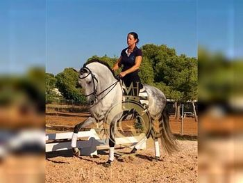 7 year-old - P.R.E. - Gelding - 1526 hh - Spain