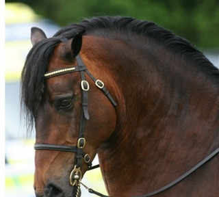Quality Section D Stallion Menai Ambitious