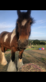14/14.hh Part Bred Dale Gelding 6YO For Sale
