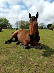 Gorgeous stocky Tb mare