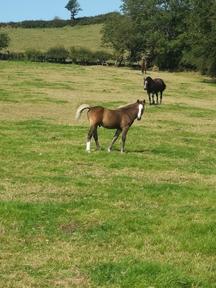 Section D colt foal for sale