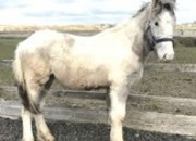 Blue & White Yearling Colt To Make 15hh