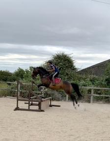 16hh sports horse