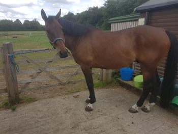 17hh Handsome Dutch Warmblood