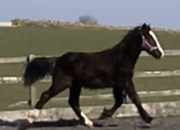 Registered Irish Draught X Irish Sport Horse x Colt To Mature 16 hh
