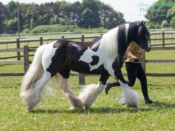 Traditional piebald gelding