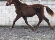 Registered Irish Draught  x Draught Yearling Colt To Make 16.2 hh