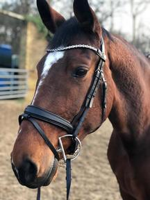 16.2hh bay Kwpn mare for sale
