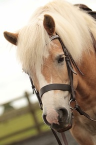 Beautiful and Honest 14hh Haflinger for sale