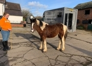 TRI COLOURED COB FILLY - ONE FOR THE FUTURE