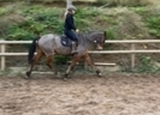 Stunning irish gelding anybody  ride