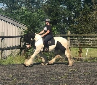 Chunky 14.2 traditional gelding.