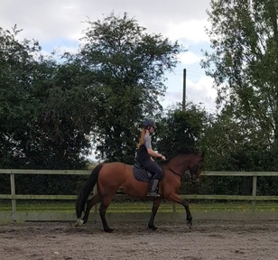 15.3hh 6yo easy allrounder Welsh D X TB Mare.