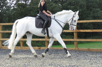 SUPERB HUNTER/RIDING CLUB HORSE