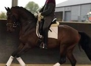 4yr old Guardian s Stallion for sale