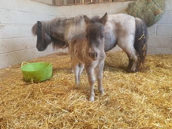Mini Shetland with foal at foot.