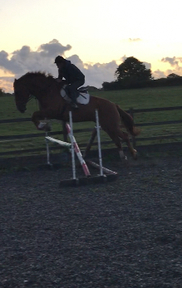 Full Registered 17hh Irish Draught Mare By Wind Gap Blue