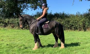 Irish Cob Gelding Hunt / Hack / Pleasure Horse / Novice Ride