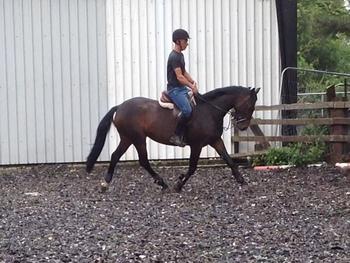 Smart 5yr old 15h bay mare