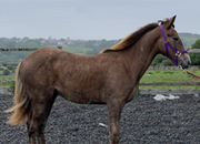 Fast Fionne  is by the irish draught stallion out of a 16hh draught mare