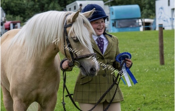 Welsh Section C Palomino Mare 13.2 7 years