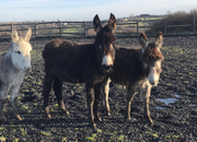 Trio Small Donkeys Two Males One Jenny