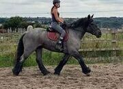 Stunning blue roan heavyweight suitable for novice