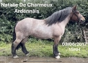 Very pretty 15.1hh 4yr old roan Ardennes mare with registered breeding.