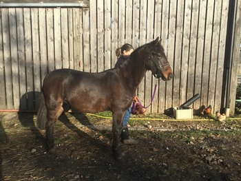 Free to collector.Fully registered New Forest colt