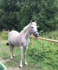 Sharer Required for 15.2hh Arab