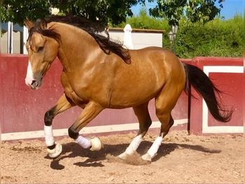 9 year-old - Lusitano - Gelding - 1585 hh - Spain