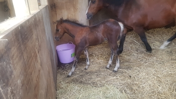Delightful Welsh x bay filly foal to make 12.2hh by Woodburys Harlequin