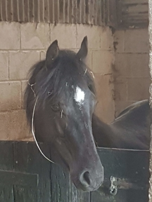 Flashy welsh part bred yearling gelding