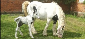 Affectionate stunning infant mare for sale