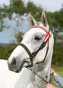 Potential Allrounder/Riding Club horse
