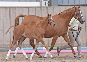 Top quality sports pony colt with a purple pedigree