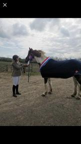 16.2 Irish sports horse mare