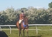 15.2 Gelding  Irish sports horse