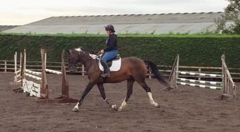 Dressage/ Allrounder for sale