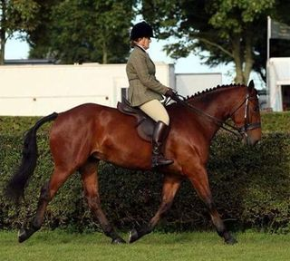 IRISH DRAUGHT-BAY-GELDING-6YRS-16.3HH
