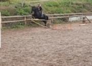 10yo 15hh alroubg black mare