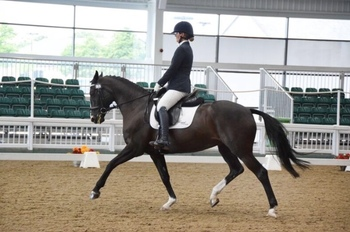 Stunning 16.1 Hanoverian x ISH For Sale