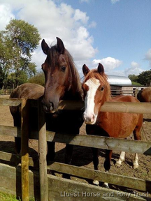 14hh Handsome Chestnut gelding - Charity re-home